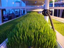 el cultivo hidropnico de pasto