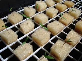 Nuevas plantas todo sobre cultivo hidrop nico - Cultivo del bambu ...